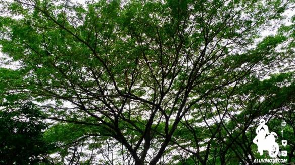 pohon senayan
