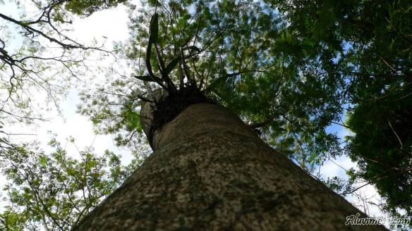 pohon taman bunga kandaga puspa aluvimoto